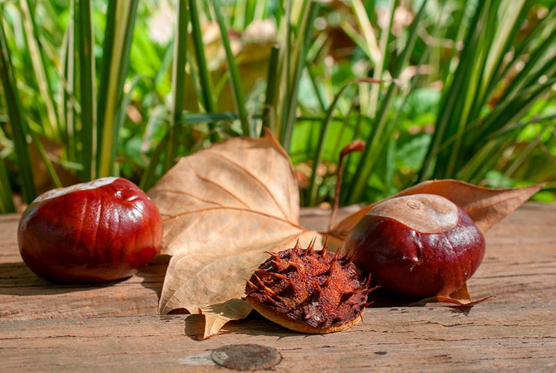 Horse chestnut infusion